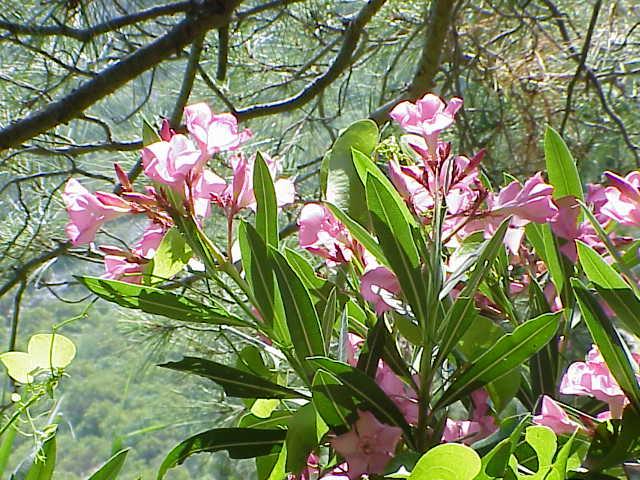 Oleander               Olympos