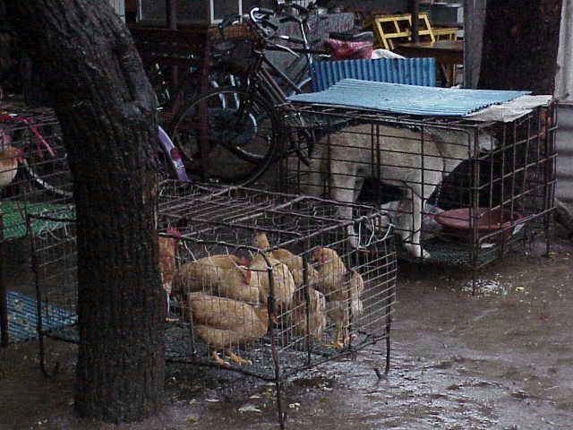 Dog & chickens in cages   Market  Guilin