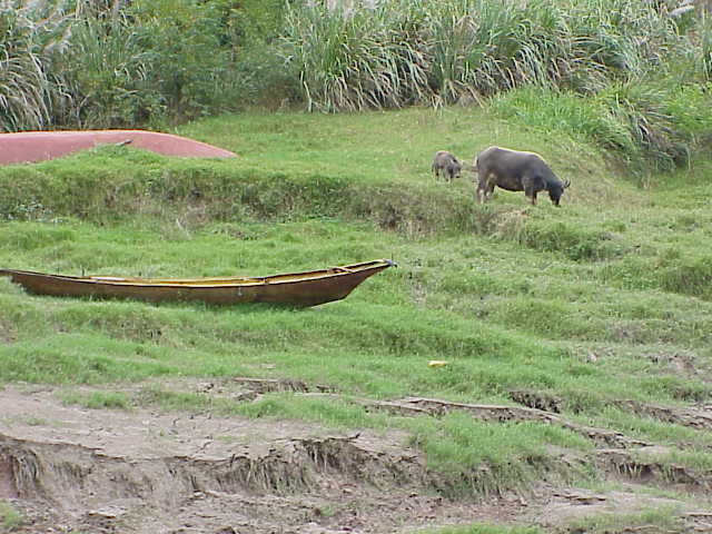 Water buffalo and calf,    Shennong Stream Badong