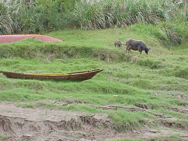 Water buffalo and calf,    Shennong Stream Badong