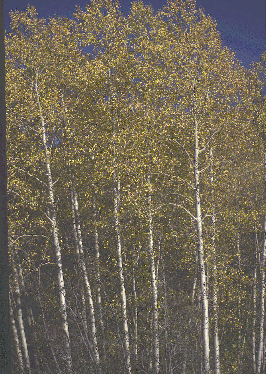 Cottonwoods, Fall		Taos